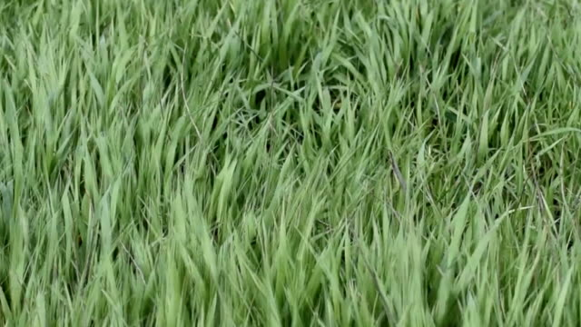 Young grass swaying on a strong wind video