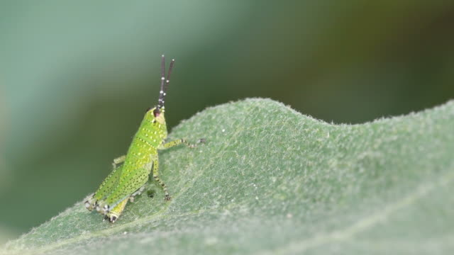 young grasshopper on the leaf video