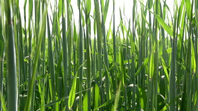 young green agriculture barley abstract background video