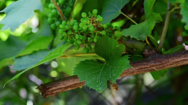 Young green and small grapevine vine buds waving on the wind in the vineyard