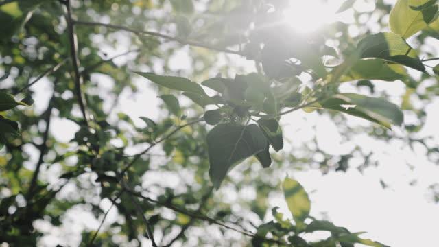 若い緑のリンゴが枝にぶら下がっている - 熟していない点の映像素材/bロール