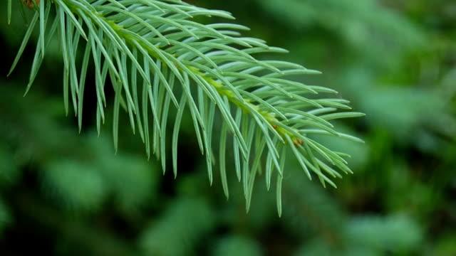 young green fir tree branch moving in the light wind breeze. closeup - jodła filmów i materiałów b-roll