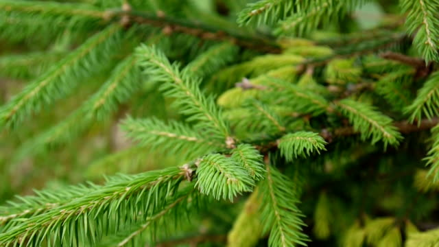 Young green fir tree branch moving in the light wind breeze. Closeup video