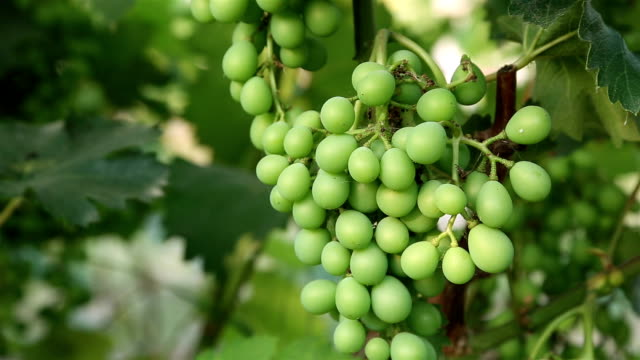 young green grape on grapevine - uva riesling bianco video stock e b–roll