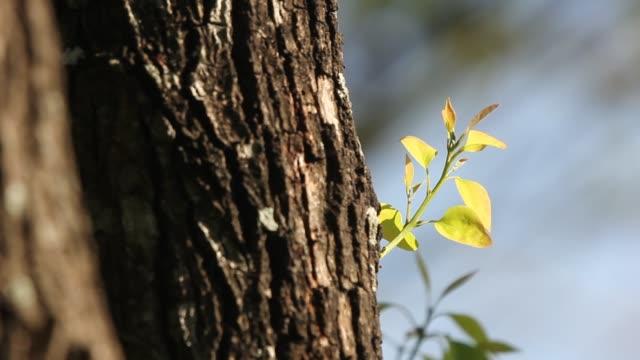 Jonge groene blad van Cinnamomum camphora boom op zonsondergang tijd video