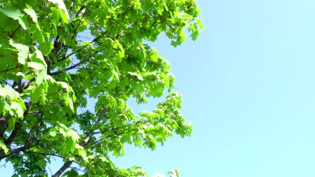 junge ahornblätter grüne an einem frühlingstag - ahorn stock-videos und b-roll-filmmaterial