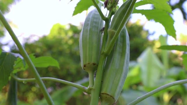 Young green okra on tree in vegetable garden garden
