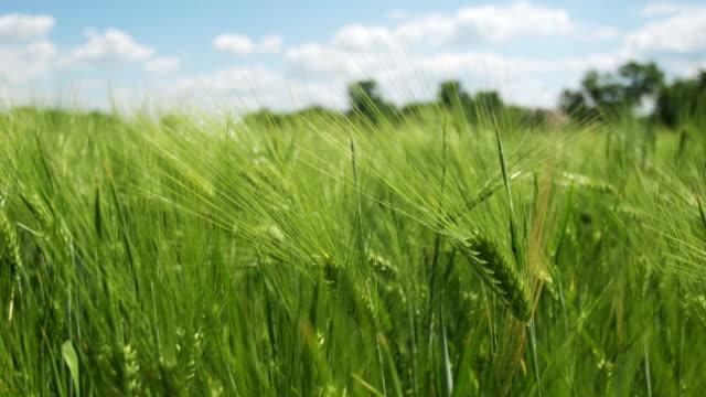 Junge grüne Weizen und Ährchen in einem Feld – Video