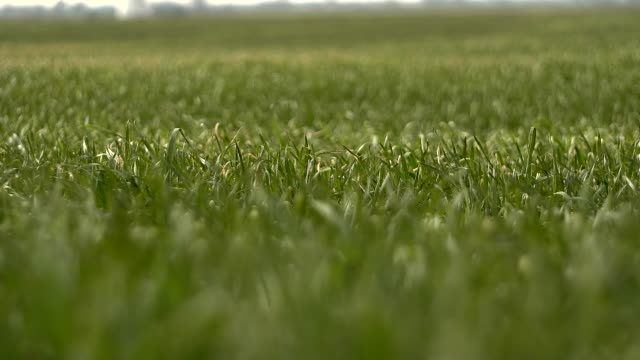 Young Green Wheat Ears in the Spring Field video
