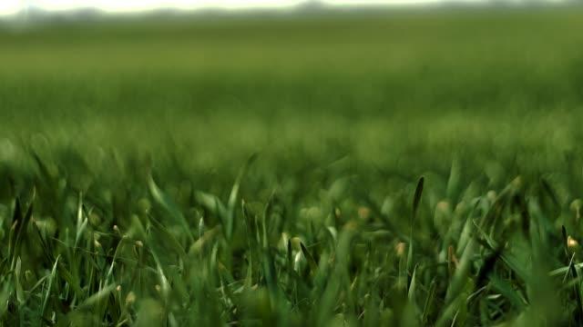 Orelhas de trigo verde jovens no campo de primavera - vídeo