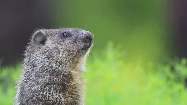 Young groundhog standing in green grass, head turned slightly and looking, room for text