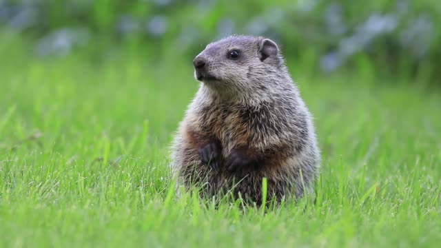 Young groundhog standing in green grass moving mouth