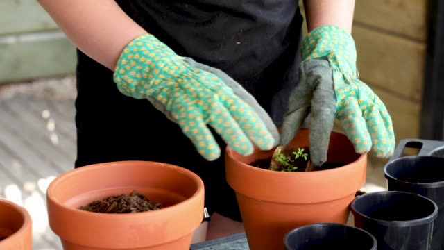 Young Hands In Gardening Gloves Potting A Plant