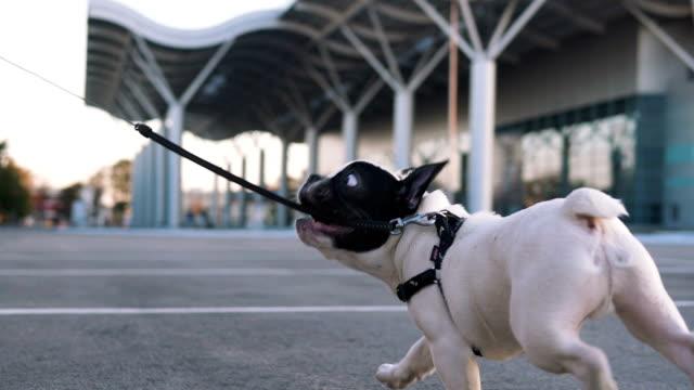 Jovem mulher feliz jogando com pouco fofo francês bulldog na estrada com backgorund urbano - vídeo