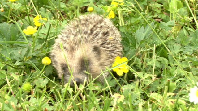 young hedgehog walking trough flowers in the grass video
