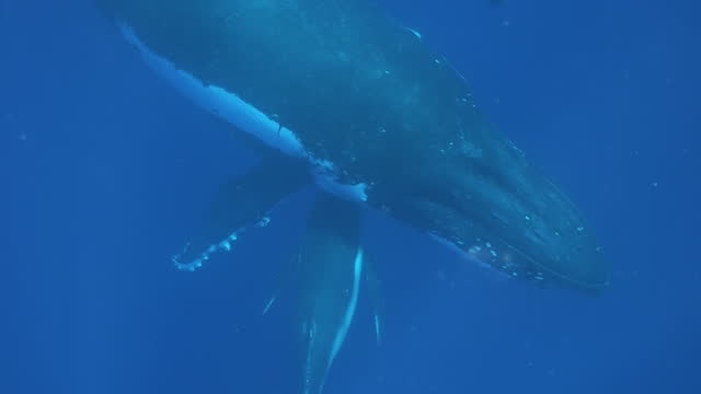 vídeos y material grabado en eventos de stock de joven becerro de ballena jorobada escondido bajo su madre bajo el agua en el océano pacífico. - animal joven