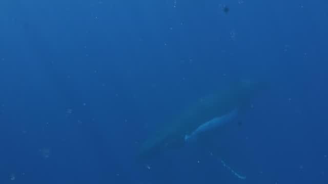 vídeos y material grabado en eventos de stock de joven ternero de ballena jorobada con ballena de vaca bajo el agua en el océano pacífico. - animal joven