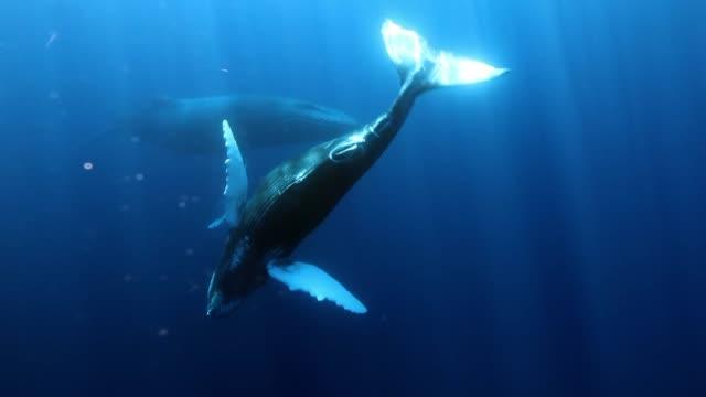 vidéos et rushes de rorqual à bosse jeune veau avec mère sous l'eau dans l'océan bleu de roca partida. - baleine