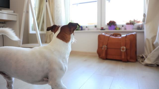 Young jack russell terier dog looking in a window Young jack russell terier dog looking in a window waiting for a master. jack russell terrier stock videos & royalty-free footage