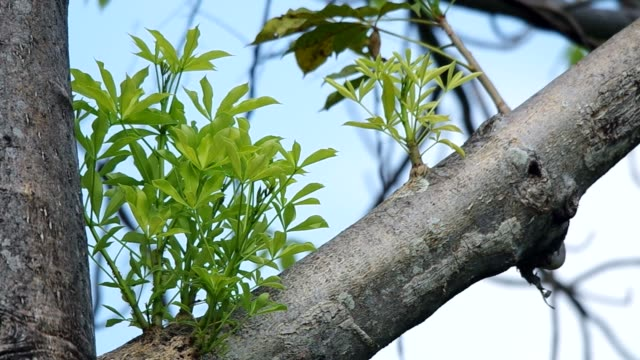 young leaf of baobab young leaf of baobab moving with calmly wind baobab tree stock videos & royalty-free footage