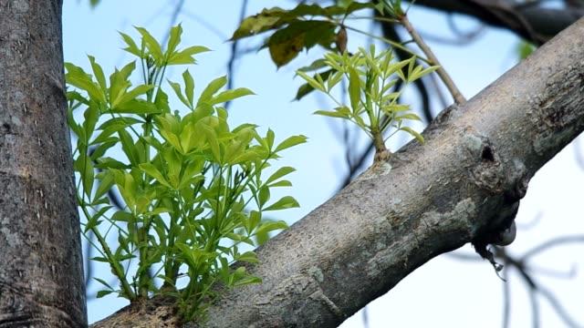 junge blatt von baobab - affenbrotbaum stock-videos und b-roll-filmmaterial
