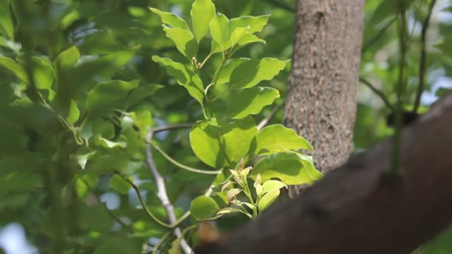 Jonge Blad van Cinnamomum kamferaboom video