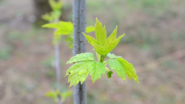 Young leaves of box elder tree swaying in wind video