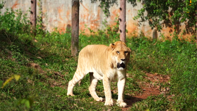 young liger