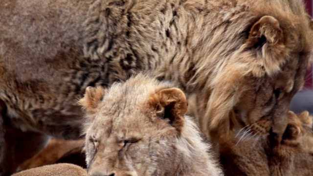 Young lions. video