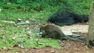 istock Young Macaque monkeys foraging nearby garbage Thailand 1338629682
