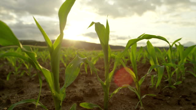 SLOW MOTION CLOSEUP: Young maize growing on a field