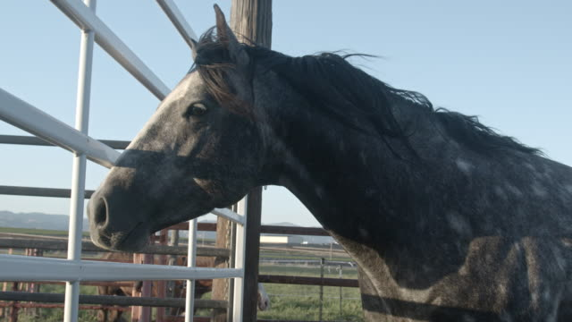 a young majestic healthy grey spotted thoroughbred quarter horse stallion stud looking through a gate at mares he wishes to mate with - mustang video stock e b–roll