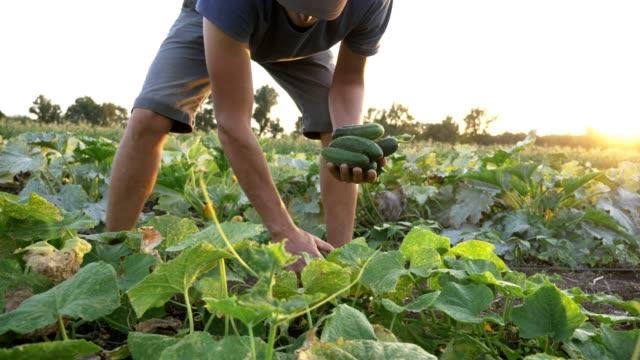 젊은 남성 농부 유기농 에코 농장 오이 따기 - 유기농 스톡 비디오 및 b-롤 화면