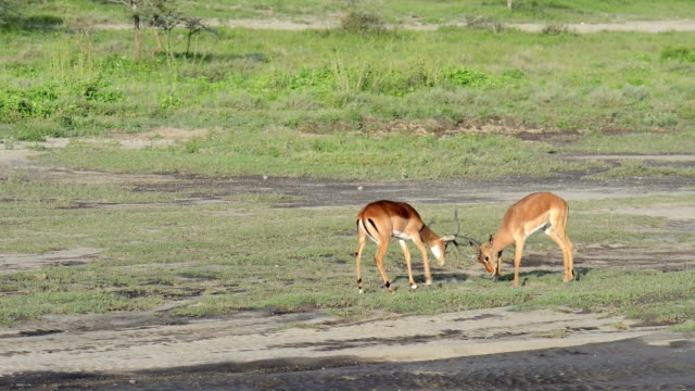 Young Male Impala Sparring video
