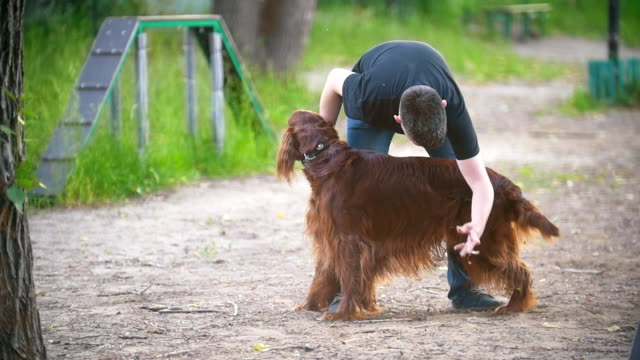 Young man cleans the long hair of his dog breed red irish setter in summer park Young man cleans the long hair of his dog breed red irish setter in summer park, slow motion irish setter stock videos & royalty-free footage