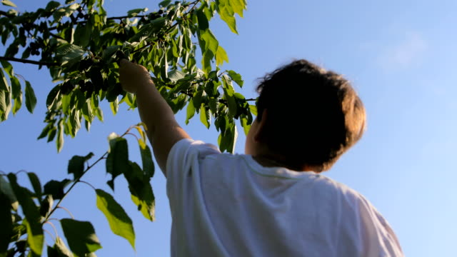 Young man climbing up cherry tree and eats cherries video