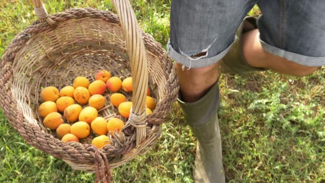 young man farmer walking carrying basket full of apricots in vegetable garden at sunset. - albicocca video stock e b–roll