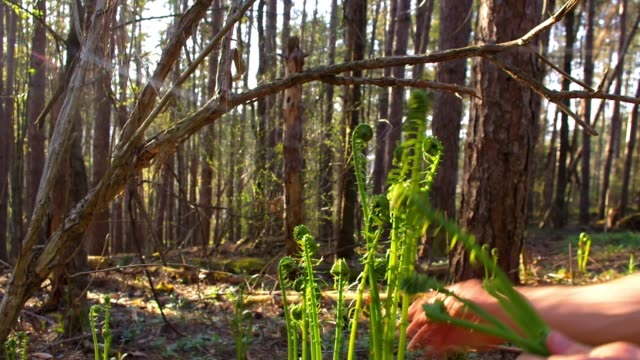 Young man forages wild Fiddlehead Ferns for food video