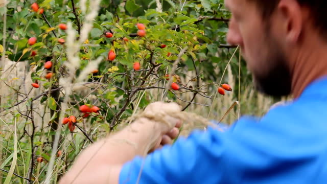 young man from back tearing rose hip, brier from bush. selective focus - cinorrodo video stock e b–roll