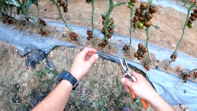 植物からトマトを摘む若者 - 叙情的な内容点の映像素材/bロール