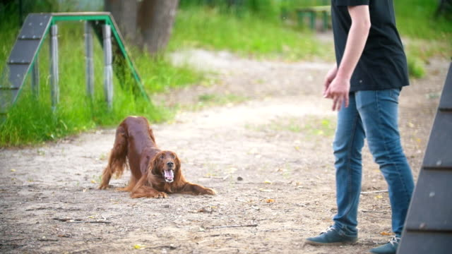 Young man playing with funny irish setter on playground at summer park Young man playing with funny irish setter on playground at summer park, slow motion irish setter stock videos & royalty-free footage