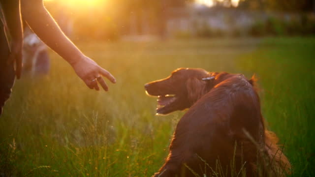 Young man playing with his dog irish setter on the grass at sunset Young man playing with his dog irish setter on the grass at sunset, slow motion irish setter stock videos & royalty-free footage