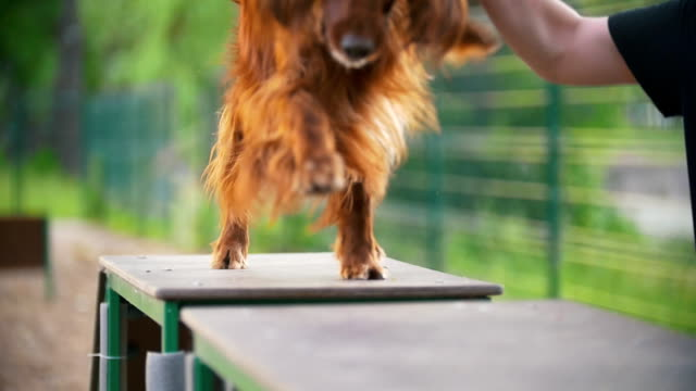 Young man trains his dog irish setter on the overpass outdoors at summer day Young man trains his dog irish setter on the overpass outdoors at summer day, slow motion irish setter stock videos & royalty-free footage
