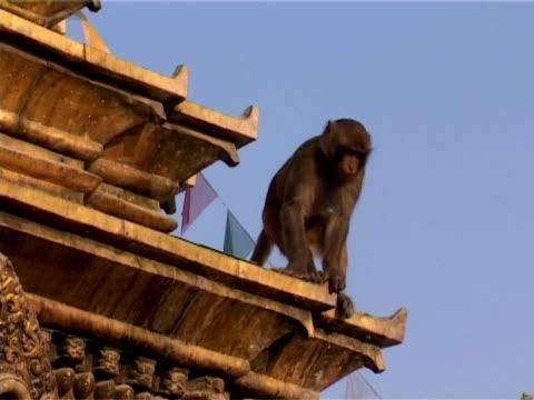young monkey at swayambhunath - stupa stok videoları ve detay görüntü çekimi