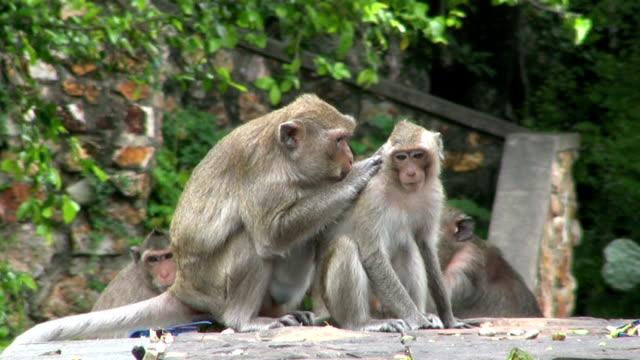 молодая обезьяна, ухоженный вид - уход за поверхностью тела у животных стоковые видео и кадры b-roll