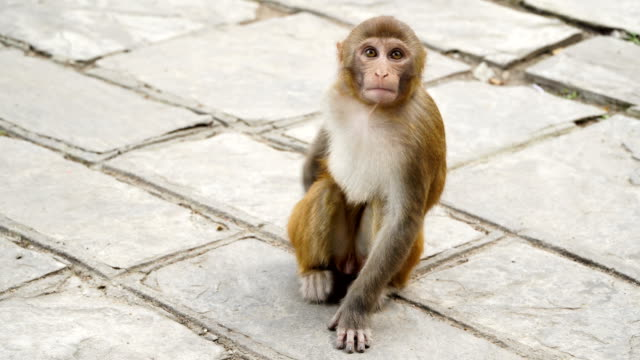 Young monkey in the city of Kathmandu video