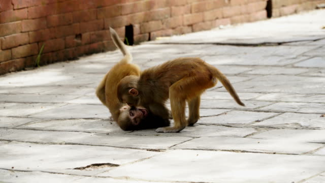 Young monkeys in the city of Kathmandu video