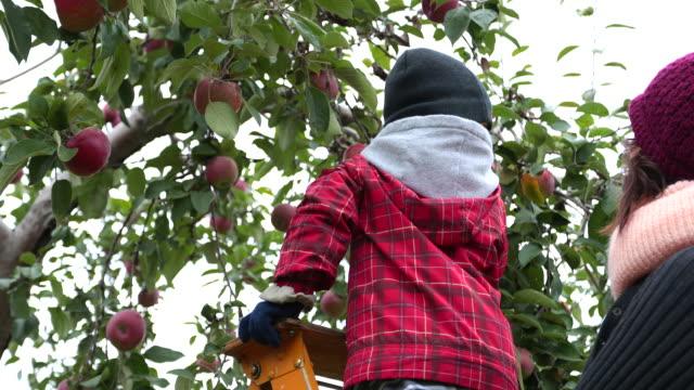 junge mutter und ihr sohn äpfel pflücken und spaß im obstgarten, quebec, kanada - pflücken stock-videos und b-roll-filmmaterial