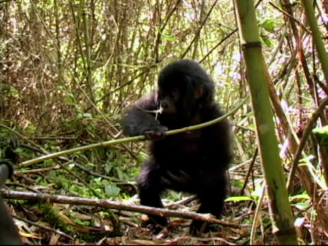 Young mountain gorilla plays in the bamboo rainforest video