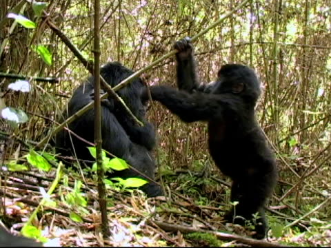 Young mountain gorilla plays in the bamboo video